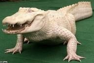 alligator or crocedile - I never know which