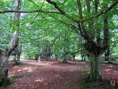 Hayedo de Presazelai ,Otxandio Trunks, Plants, Countries, Drift Wood, Tree Trunks, Plant, Planets
