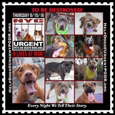 TO BE DESTROYED 09/15/16 - - Info  Please Share:  To rescue a Death Row Dog, Please read this:http://information.urgentpodr.org/adoption-info-and-list-of-rescues/  To view the full album, please click here:http://nycdogs.urgentpodr.org/tbd-dogs-page/ Please Share:-  Click for info & Current Status: http://nycdogs.urgentpodr.org/to-be-destroyed-4915/