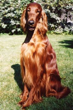 Irish Setters...very elegant  Used to have these dogs! They are so sweet!