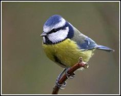 blue tit bird  - we saw so many today up in the Northumberland countryside ♥