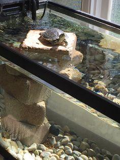 Aquatic Turtle Habitat, Aquatic Turtle Tank, Turtle Aquarium, Aquatic Turtles, Turtle Pond, Aquarium Fish, Turtle Terrarium, Aquarium Terrarium, Turtle Care