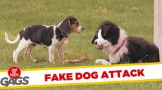 Border Collie Hand Puppet Fiercely Guards a Yummy Bone When Real Dogs Try to Steal It Away