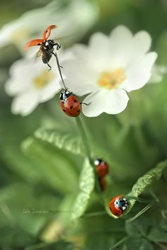 coccinellidae | Paradise circus by cliccath, via Flickr.