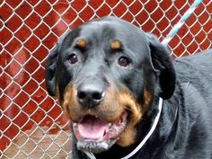 NAME: JINX (M) AGE: ABOUT 3 YEARS OLD BREED: ROTTIE MIX WEIGHT: 102 LBS. LOCATION: HOOSICK, NY - Rebound Hounds Res-Q