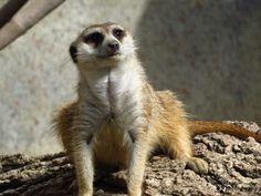 Meerkat Fort Worth Zoo, Kangaroo, Dallas, Animals, Baby Bjorn, Animales, Animaux, Animal, Animais
