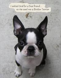 boston terrier for the love of boston's - Google Search