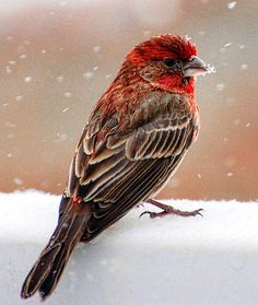 This House Finch is prettier than the ones in my back yard in SoCal.  Maybe the snow helps.