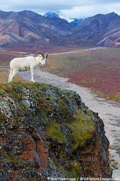 Dall's Sheep- Denali National Park