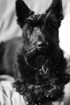 ♡Scotties.  Photographing Scotties is really an art form.  Their nearly black raisin eyes and their coat of black surely challenge most photographers.