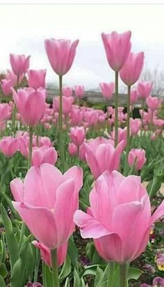 Tulpen Flowers Pink Tulips Stylish Concepts A Information to Selecting Sun shades Sun s Pink Tulips, Tulips Flowers, Flowers Nature, Exotic Flowers, Spring Flowers, Planting Flowers, Flowers Garden, Cactus Flower, Tropical Flowers