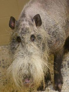 Bearded Pig from Borneo at the Henry Doorly Zoo, Nebraska, one of the ugliest animals I've seen, but he's still one of God's creatures ! Bizarre Animals, Ugly Animals, Unusual Animals, Rare Animals, Animals And Pets, Ugliest Animals, Odd Animals, Ugliest Dog, Exotic Animals
