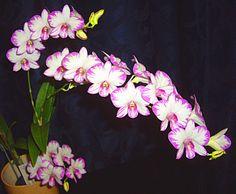 Dendrobium Enobi Purple Splash   purchased Dendrobium. Enobi Purple 'Splash' as a single growth keiki ...