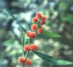 Lots of red wattle in our garden's future.