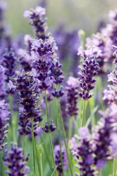 LAVENDER  |  LIGHT: full sun, with afternoon shade during hotter months. |  WATER: as with many herbs, frequent watering is required. Do not let plant dry out, and pot to allow proper drainage