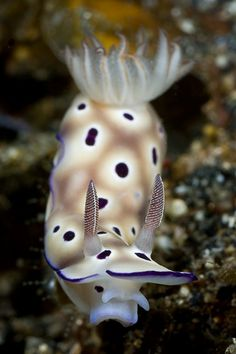 Risbecia tryoni by liquidkingdom, via Flickr