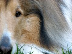 'Focus' by Janet Wall (HowtoLoveYourDog.com), via Flickr Visit howtoloveyourdog.com lots of great information on raising and training your dog in a kind, compassionate, and humane way. #collie #closeup #art