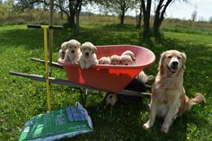 Golden Retrievers ready to do some planting