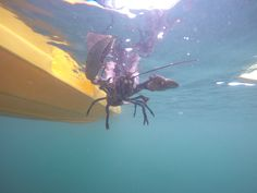 One of our 14 sponsored lobsters being released from North Berwick Kayak Hire kayak back into the sea so she can continue to breed.