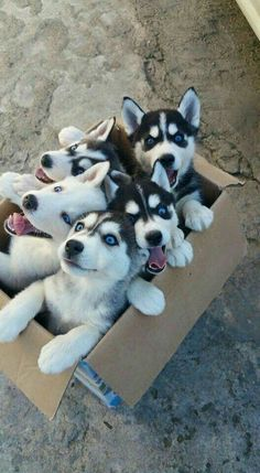 A box of delights #huskies
