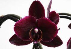 "Phalaenopsis ´Red Leather ´ ""Красная Кожа"" или ""Краснокожий"""