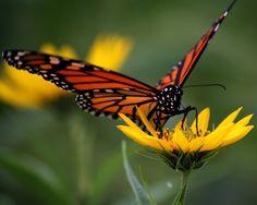 Monarch on Wild Sunflower