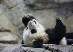 Bao Bao the National Zoo's baby panda