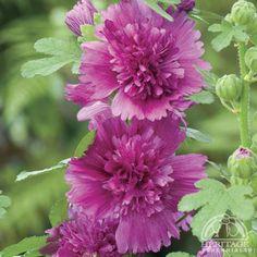 Alcea rosea annua 'Spring Celebrities Purple'
