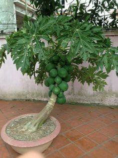 Bonsai de papaya!