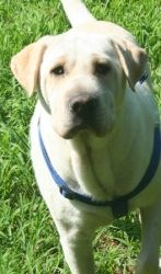 Nola #10 is an adoptable Yellow Labrador Retriever Dog in Killingworth, CT. Nola was very much loved in her home. �Her family is moving to another country and cannot take her with them. �They are very...