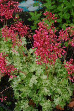 Click to view full-size photo of Snow Angel Coral Bells (Heuchera sanguinea 'Snow Angel') at Gertens