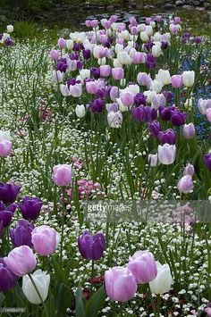 tulips garden care White, pink and purple Tulips grace a meadow - - Cut Flower Garden, Tulips Garden, Garden Bulbs, Purple Garden, Purple Tulips, Pink Purple, Yellow Roses, Pink Roses, White Tulips