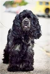 Check out our site for cool apparel & gifts to represent your pets! Black Cocker Spaniel, American Cocker Spaniel, Cocker Spaniel Puppies, English Cocker Spaniel, Beautiful Dogs, Animals Beautiful, Cute Animals, Spaniel Breeds, Dog Breeds