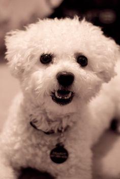 The cutest bichon!