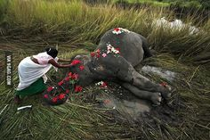 Villager offers flowers to a female adult elephant lying dead on a paddy field in India