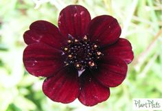 Cosmos Atrosanguineus. This is a flower that smells a little of dark Chocolate - so no further reason as to why you need to have some required! It isn't supposed to be totally hardy, but mine is in a large pot in a sunny sheltered spot and it has survived the last 5 winters! It's used in our Big n Red n Hot  and Fab Fronts to be Noticed range 3  http://plantplots.com/product-category/products/