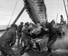 Dramatisk hvalfangst - Reportasje