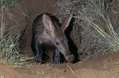 Aardvark in South Africa - Nigel Dennis Wildlife Photography : Animals by Species