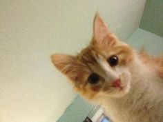 Adopt Elvis from Feline Rescue, St.Paul, MN. playful, affectionate kitten (click for adoption info)