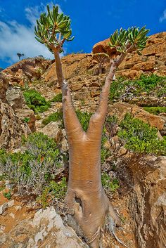 Homhill, garden full of bottles and dragons blood trees, Socotra Island, Yemen ~ UNESCO World Heritage Site. Photo: anthony pappone photographer, via Flickr