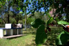 Parque Piedra Pintada hermoso para el descanso. Las moreras  y sus moras al alcance de la mano