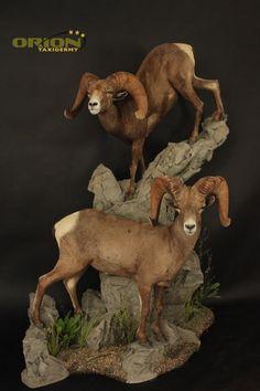 Custom base design allows both sheep to be seen Taxidermy, Sheep, Goats, Base, Animals, Design, Animales, Animaux, Animais