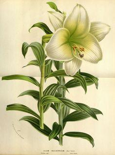 flore serres et jardins Europe - Flore serres et jardins d Europe - 22055 Lilium neilgerricum - Gravures, illustrations, dessins, images