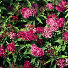 Neon Flash Spirea - Monrovia - Neon Flash Spirea Bright neon-red flowers appear over a long period and are offset by a neat mound of rich green foliage that becomes dark burgundy in fall. Creates a colorful low hedge or mass planting. Garden Shrubs, Flowering Shrubs, Trees And Shrubs, Orchids Garden, Shade Garden, Fast Growing Shrubs, Monrovia Plants, Hummingbird Garden, Border Plants