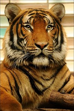 Amazing and funny pictures and videos from around the world: funny animals, beautiful nature scenery, universe etc, etc, etc. Most Beautiful Animals, Beautiful Cats, Beautiful Creatures, Tenerife, Big Cats, Cats And Kittens, Endangered Tigers, Animals And Pets, Cute Animals