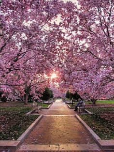 Cherry blossoms in Washington DC, been there, done that. Beautiful!