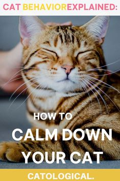 Cats of all breeds and ages can get extremely upset. Aggressive or stressed-out behavior is bound to occur, and as a pet parent you're the one who must help the kitty calm down. We will teach you several ways to help calm down your kitty! #cats #catcare #angrycats #catbehavior #kittencare