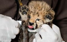 A one-month-old female cheetah cub has her face cleaned  at the US National Zoo in Washington, after being fed milk from a bottle