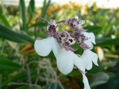 Orquídea Rodriguezia - Modo de Cultivo: