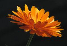 Měsíček lékařský Korn, Herbs, Plants, Sunflowers, Garden, Herb, Flora, Plant, Spice